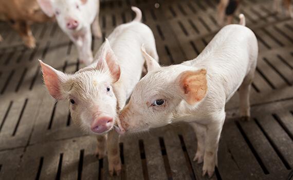 Fine-tune nursery management to achieve optimal pig performance