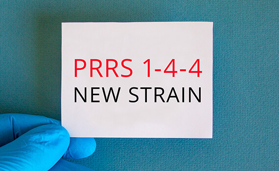 Highly infectious PRRS variant causes high mortalities on sow farms
